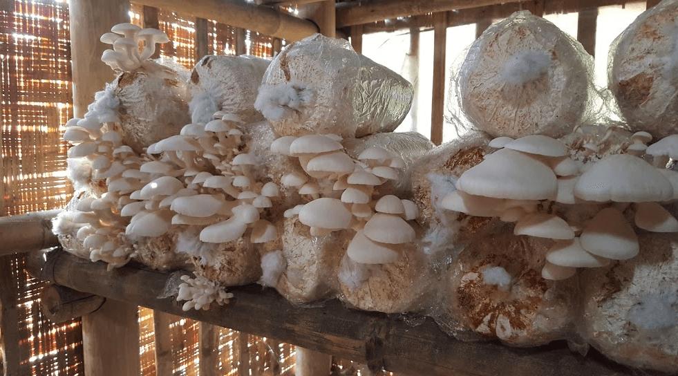 Cara Membuat Baglog Jamur Sederhana